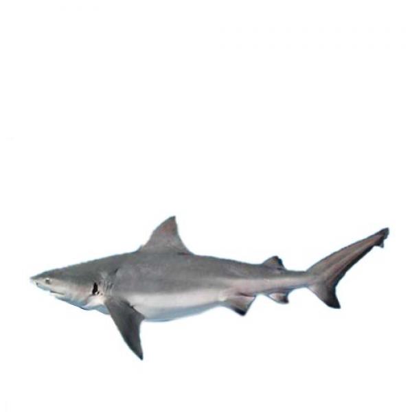 Fresh Shark Whole