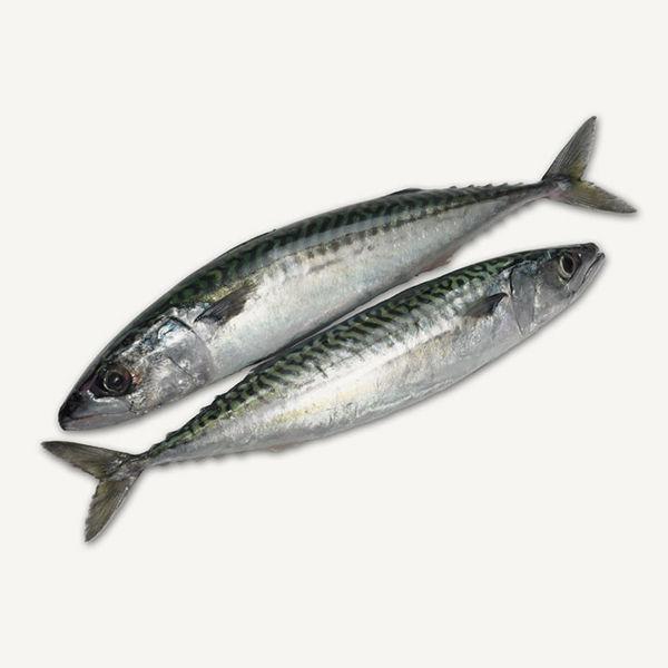 Fresh Mackerel / الماكريل الطازج