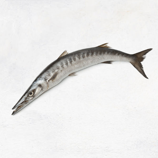 Fresh Barracuda / باراكودا الطازجة