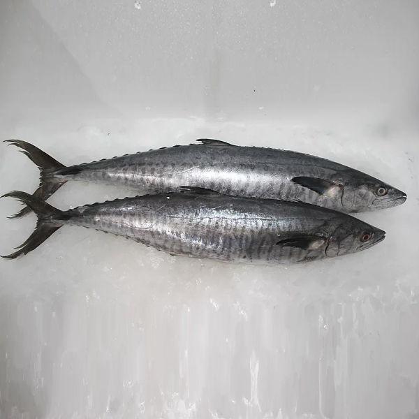 Fresh Wild King Fish /سمك الملك الطازج
