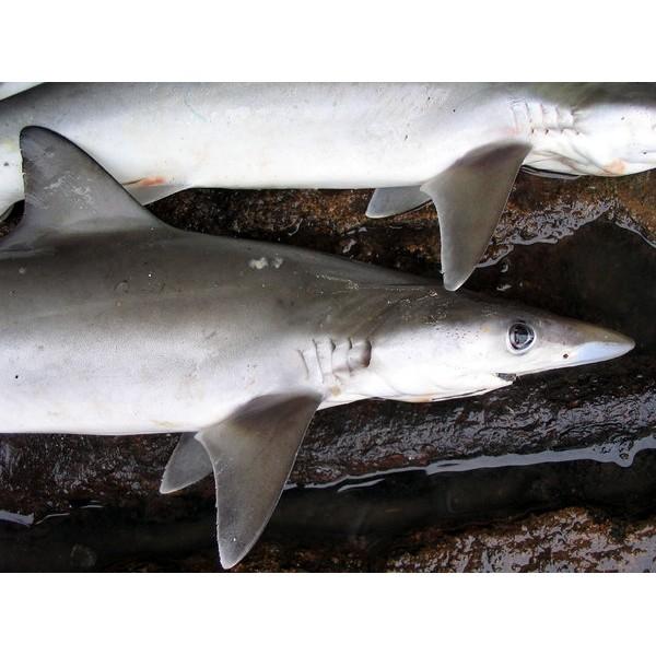 Fresh Shark